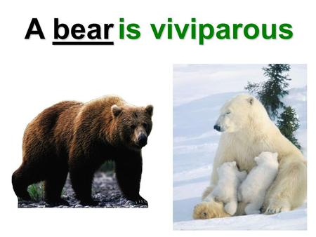 A bear is viviparous.