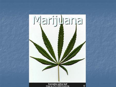 Marijuana. CANNABIS SPECIES Cannabis sativa Cannabis sativa grows worldwide grows worldwide Tall plant with long, thin light green leaves Tall plant with.