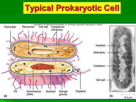 Typical Prokaryotic Cell. Prokaryotic Cell Structures.