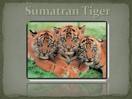 Scientific Name: Panthera Tigris Sumatrae Common Name: Sumatran Tiger Kingdom: Animalia Phylum: Chordata Class: Mammalia Continent/Country origin from: