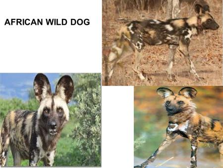 AFRICAN WILD DOG. There are lots of different names for these dogs, and here are some of them: African Wild Dog, African Hunting Dog, Cape Hunting Dog,