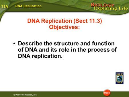 DNA Replication (Sect 11.3) Objectives: Describe the structure and function of DNA and its role in the process of DNA replication.