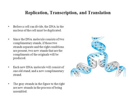Replication, Transcription, and Translation Before a cell can divide, the DNA in the nucleus of the cell must be duplicated. Since the DNA molecule consists.