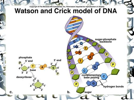 DNA: Structure and Function. The DNA Revolution 1940s-1960s Griffith & Avery—DNA transformed pneumococcus bacteria. Encouraged the study of prokaryotic.