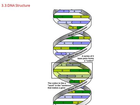 3.3:DNA Structure. 3.3.1: Outline DNA nucleotide structure in terms of sugar (deoxyribose), base and phosphate.