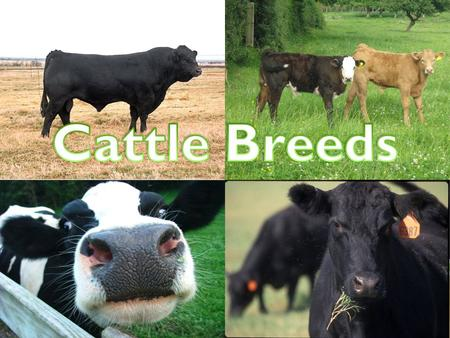 ANGUS Originated in Scotland Black, naturally polled Largest number of annual registrations in the United States.