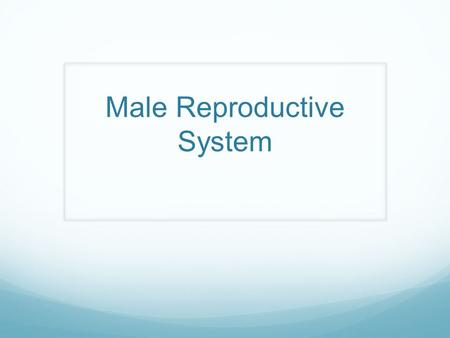Male Reproductive System. External/Internal Function What is the main function of the male reproductive system? When do males begin producing sperm?