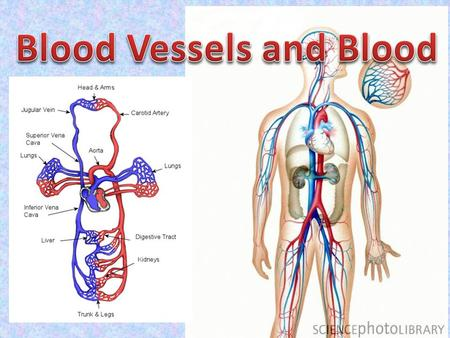 Blood Vessels and Blood
