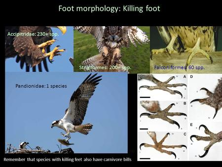 Foot morphology: Killing foot Short or no primary extension Accipitridae: 230+ spp. Strigiformes: 200+ spp.Falconiformes: 60 spp. Pandionidae: 1 species.
