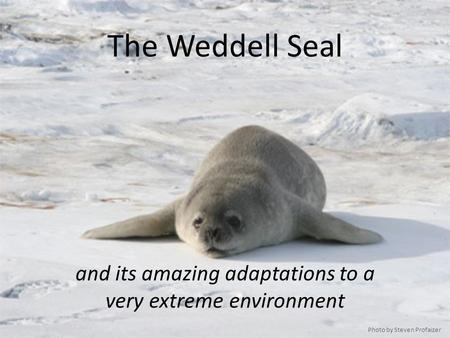 The Weddell Seal and its amazing adaptations to a very extreme environment Photo by Steven Profaizer.