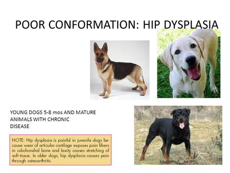 POOR CONFORMATION: HIP DYSPLASIA YOUNG DOGS 5-8 mos AND MATURE ANIMALS WITH CHRONIC DISEASE.