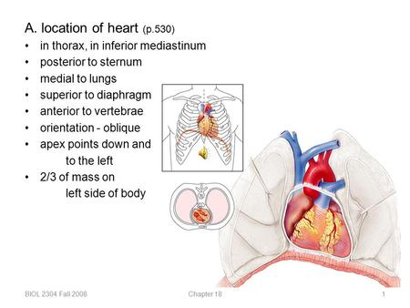 A. location of heart (p.530) in thorax, in inferior mediastinum