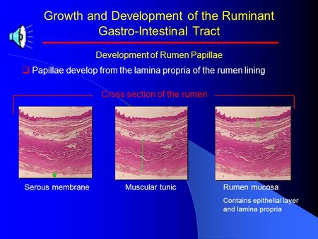 Growth and Development of the Ruminant Gastro-Intestinal Tract Development of Rumen Papillae   Papillae develop from the lamina propria of the rumen.