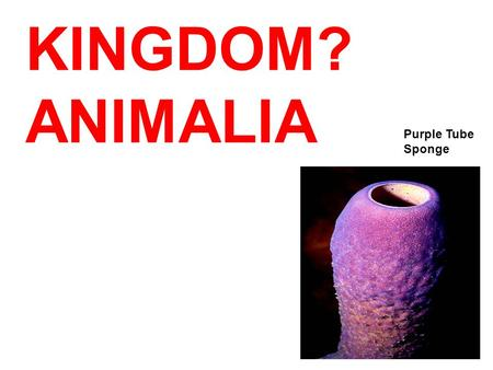 "KINGDOM? Purple Tube Sponge ANIMALIA. PHYLUM? PORIFERA ""Porifera"" means? ""Pore- bearer"""