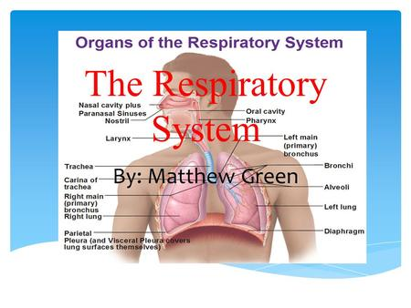 The Respiratory System By: Matthew Green.  At the top of the respiratory system, the nostrils (also called nares) act as the air intake, bringing air.