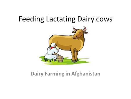 Feeding Lactating Dairy cows Dairy Farming in Afghanistan.