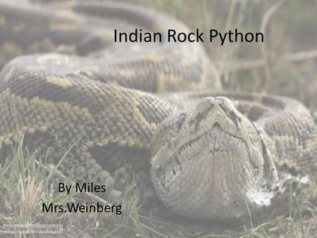 Indian Rock Python By Miles Mrs.Weinberg. Indian Rock Python.