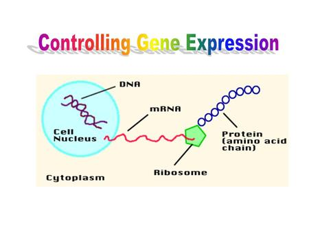 Definitions Gene – sequence of DNA that is expressed as a protein (exon) Genes are coded –DNA →RNA→Protein→Trait Transcription – rewritting DNA into RNA.