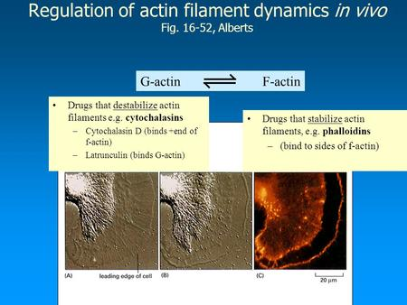 Regulation of actin filament dynamics in vivo Fig. 16-52, Alberts G-actin F-actin Drugs that destabilize actin filaments e.g. cytochalasins –Cytochalasin.