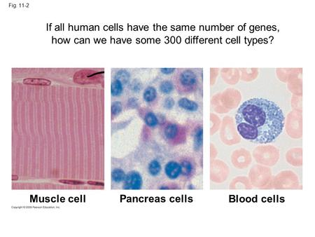 Fig. 11-2 Muscle cell Pancreas cells Blood cells If all human cells have the same number of genes, how can we have some 300 different cell types?