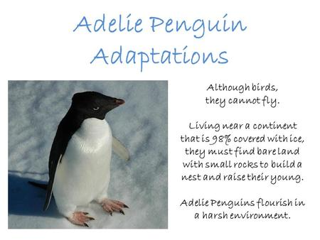Adelie Penguin Adaptations Although birds, they cannot fly. Living near a continent that is 98% covered with ice, they must find bare land with small rocks.