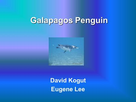 Galapagos Penguin David Kogut Eugene Lee. Galapagos Penguin Scientific Name: Spheniscus mendiculus Primarily in the Fernandina Island and the west coast.