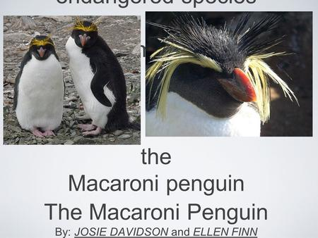 Endangered species thema mac the Macaroni penguin The Macaroni Penguin By: JOSIE DAVIDSON and ELLEN FINN.
