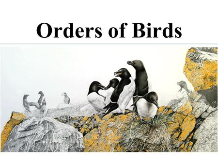 Orders of Birds. ~8900 species of birds ~28 orders (depends on who's counting) ~166 families several new species described each year.