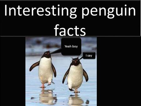 Interesting penguin facts Yeah boy I say. Penguins have corneas which act like classes that help them see underwater.