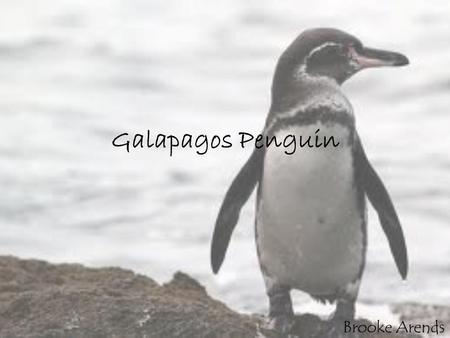 Galapagos Penguin Brooke Arends. Description. The Galapagos penguin is the smallest of warm weathered penguins and stands only 16 to 18 inches tall, weighing.