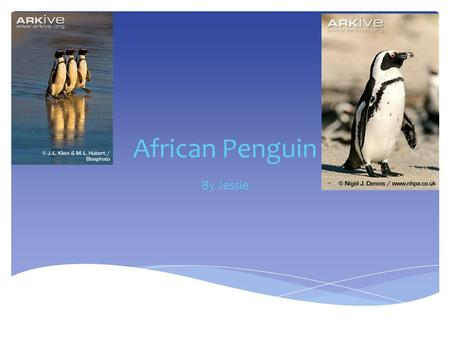 African Penguin By Jessie  The African Penguin lives on the coast of Africa and on nearby islands Habitat.