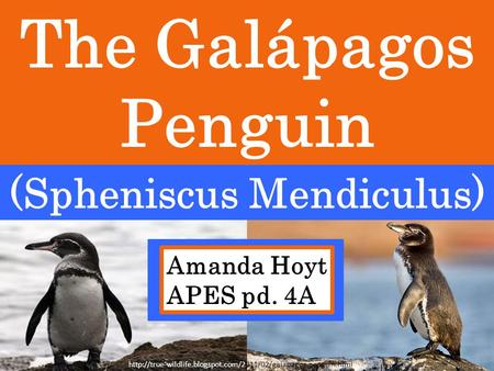 The Galápagos Penguin (Spheniscus Mendiculus) Amanda Hoyt APES pd. 4A