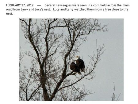 FEBRUARY 17, 2012 ---- Several new eagles were seen in a corn field across the main road from Larry and Lucy's nest. Lucy and Larry watched them from a.