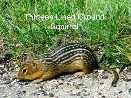 Thirteen Lined Ground Squirrel. Eating Habits 50% of their diet is animal matter The other half of their diet contains fruits vegetables and other plant.