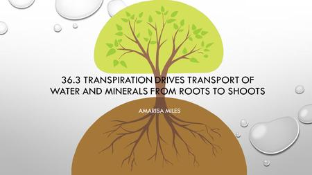36.3 Transpiration drives transport of water and minerals from roots to shoots Amarisa Miles.