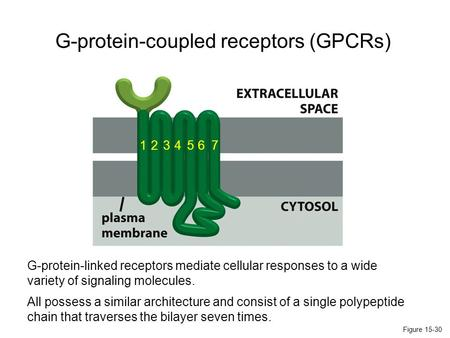 Figure 15-30 1234567 G-protein-coupled receptors (GPCRs) G-protein-linked receptors mediate cellular responses to a wide variety of signaling molecules.