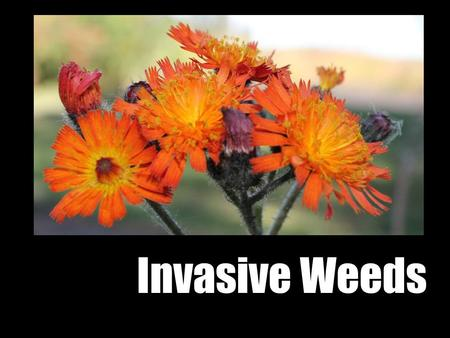 Invasive Weeds. Outline 1.Damage 2.Why are these plants such bullies 3.What can you do 4.Jeoprady Flickr- iwona_kellie.