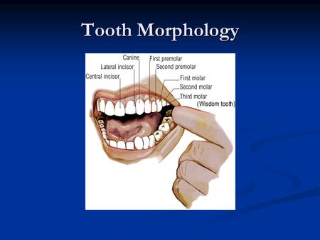 Tooth Morphology.