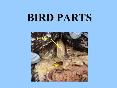 BIRD PARTS. These small white pouches on the intestine are called colic caeca Their function is to _________________. contain microorganisms to break.