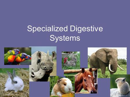 Specialized Digestive Systems. What are they? Animals with specialized digestive tracts are still non-ruminant animals but they have unique organs that.