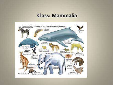 Class: Mammalia. All mammals : Mammary glands Hair A middle ear with 3 bones A jaw that lets them chew food.