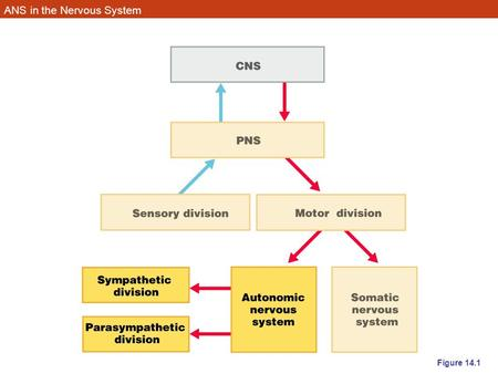 ANS in the Nervous System Figure 14.1. Autonomic Nervous System (ANS) The ANS consists of motor neurons that: –Innervate smooth and cardiac muscle and.