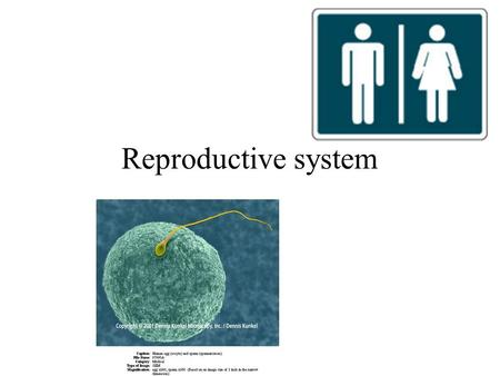 Reproductive system.