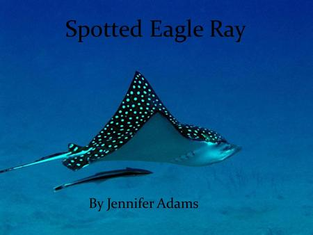 Spotted Eagle Ray By Jennifer Adams. Description 3.5 m (11 ft) wide 9m (30 ft) long Max 507 lbs long snout (duck's bill) whip like long tale abundance.