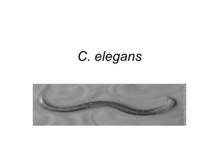 C. elegans. What is C. elegans? Caenorhabditis elegans, or C. elegans, is a small (about 1 mm long as an adult), transparent roundworm (nematode) usually.