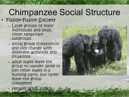 Chimpanzee Social Structure Fission-Fusion Society – Large groups of many individuals and small, often temporary subgroups – social group composition and.