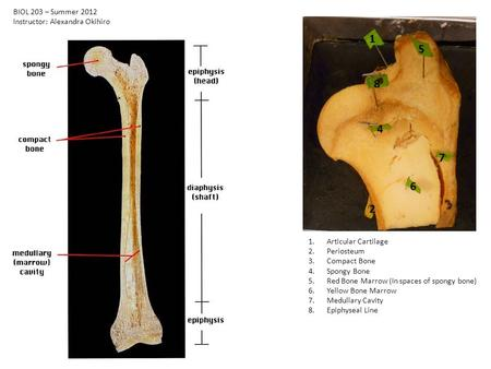 1 2 4 5 6 7 8 1.Articular Cartilage 2.Periosteum 3.Compact Bone 4.Spongy Bone 5.Red Bone Marrow (In spaces of spongy bone) 6.Yellow Bone Marrow 7.Medullary.