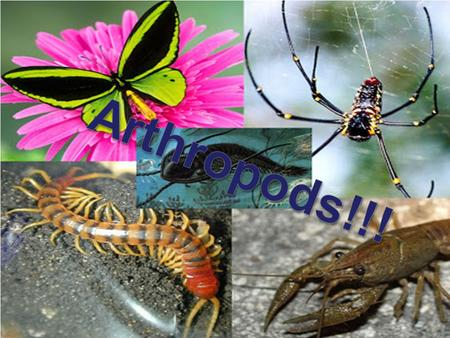 "Arthropods Arthropoda - "" jointed legs. Largest animal phylum; includes insects, spiders shrimp, and centipedes. Jointed appendages include, legs, antennae,"