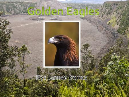 The Golden Eagle Golden eagles get their name from the golden-brown plumage on their heads. These majestic birds of prey live in North America, Asia,