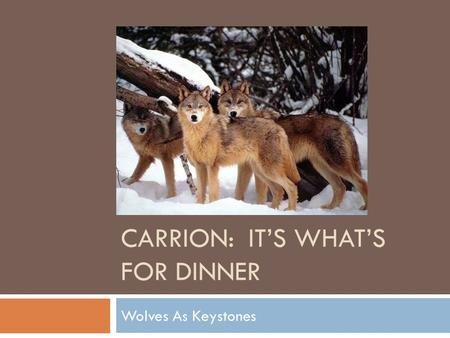CARRION: IT'S WHAT'S FOR DINNER Wolves As Keystones.